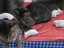 Katzen und Mäuse Stockfotografie