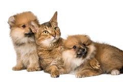 Katzen- und Pomeranian-Welpen Lizenzfreie Stockfotografie