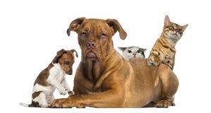 Katzen und Welpe, die hinter Dogue de Bordeaux spielen und sich verstecken Lizenzfreies Stockbild
