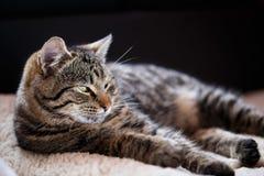 Katzenabschluß der getigerten Katze oben Stockbild