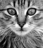 Katzenahaufnahme Lizenzfreie Stockbilder