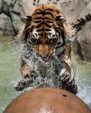 Katzenangriff Lizenzfreies Stockfoto