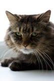 Katzenartig Lizenzfreie Stockbilder