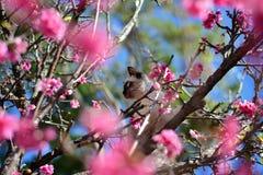 Katzenartige blaue Augen auf dem Kirschbaum Lizenzfreies Stockbild