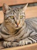 Katzenartiger Blick einer Katze Stockfotografie
