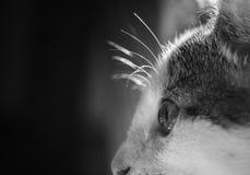 Katzenaugen-Aufmerksamkeitskontrast-Tierhaustier Lizenzfreie Stockbilder