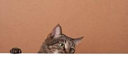 Katzenflüchtiger blick heraus von hinten Weißbuch Stockfoto