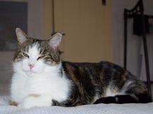 Katzengetigerte katze, die auf hellem Leinen mit halben wachsamen Augen liegt lizenzfreie stockbilder