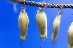 Katzenhaieigeldbeutel innerhalb eines fishtank Stockfotografie