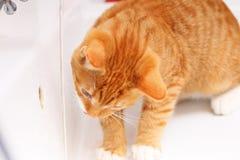 Katzenhaustiermiezekatze der Tiere zu Hause Trinkwasser der roten im Badezimmer Stockfotos