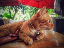 Katzenhaustiertier lizenzfreie stockfotografie
