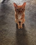 Katzenhaustiertierschauen Lizenzfreie Stockfotos