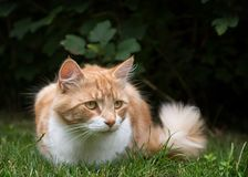 Katzenjagd im Gras Stockfoto