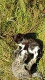 Katzenkatzen Kitten Fight Gras-Grün stockbilder