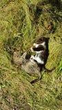 Katzenkatzen Kitten Fight Gras-Grün lizenzfreie stockfotos