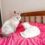 Katzenkatzenhaustiere lieben weiße Freunde der netten türkischen Angoras lizenzfreie stockfotografie