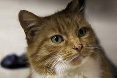 Katzenkopfabschluß des roten Ingwers, der oben er grüne Augen der Kamera betrachtet Stockbilder