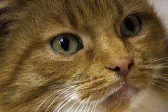 Katzenkopfabschluß des roten Ingwers, der oben er grüne Augen der Kamera betrachtet Stockbild