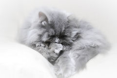 Katzenplakat Stockfotografie