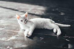 Katzenmiezekatze wenig weicher weißer Hintergrund nach innen Stockfoto