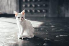 Katzenmiezekatze wenig weicher weißer Hintergrund nach innen Stockbilder