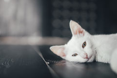Katzenmiezekatze wenig weicher weißer Hintergrund nach innen Lizenzfreie Stockbilder