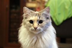 Katzenminilöwe lizenzfreie stockfotografie