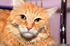 Katzennahaufnahme Lizenzfreies Stockfoto