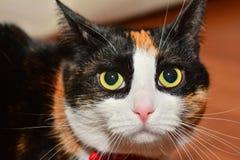 Katzennahaufnahme Lizenzfreie Stockfotografie