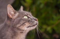 Katzenporträt der getigerten Katze Lizenzfreies Stockfoto