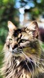 Katzenporträt der getigerten Katze Lizenzfreies Stockbild