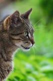 Katzenporträt der getigerten Katze stockbild