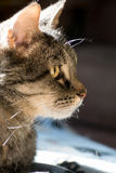 Katzenporträt der getigerten Katze stockfotos