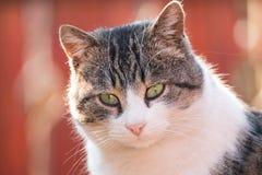Katzenporträt des grauen Weiß Stockfotos