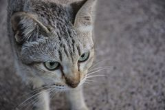 Katzenporträt-Gesichtsabschluß oben stockfoto