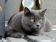 Katzenporträt LORD Lizenzfreie Stockbilder