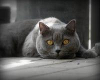 Katzenporträt LORD stockbilder
