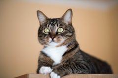 Katzenporträtabschluß oben, nur Haupternte, Katze im hellbraunen und Sahnebetrachten mit dem Plädieren von Starren dem Zuschauer Lizenzfreie Stockbilder