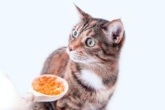 Katzenschildpattfarbe schaut mit Verwirrung auf einem Löffelvoll des roten Kaviars stockbild