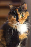 Katzenschildpattgelb-Augenstarren nett Lizenzfreie Stockfotos