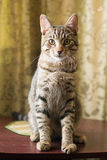 Katzensitzen der getigerten Katze Lizenzfreies Stockbild