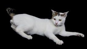 Katzenspiel auf dem schwarzen Gewebe lokalisiert Stockbild