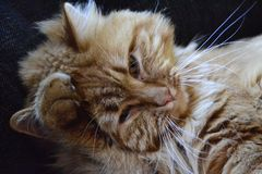 Katzenwäsche Stockfotos