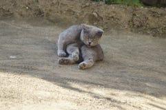 Katzenzucht Briten-Falte Stockbilder