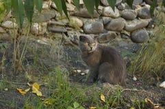 Katzenzucht Briten-Falte Lizenzfreie Stockbilder