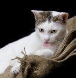 Katzenzunge auf der Juteleinwand lokalisiert Lizenzfreies Stockfoto