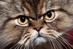 Katzeportrait Stockfotografie