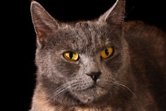 Katzeportrait Lizenzfreies Stockfoto