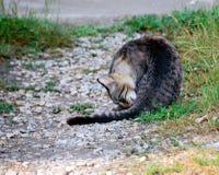 Katzereinigung Lizenzfreie Stockfotografie