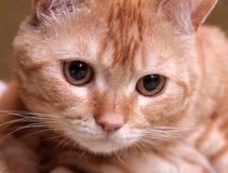 Katzerotnahaufnahme Stockfotografie
